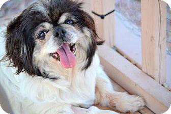 Pekingese Dog for adoption in Colorado Springs, Colorado - Camille