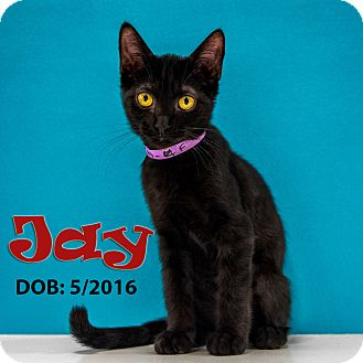 Domestic Shorthair Kitten for adoption in Chandler, Arizona - Jay