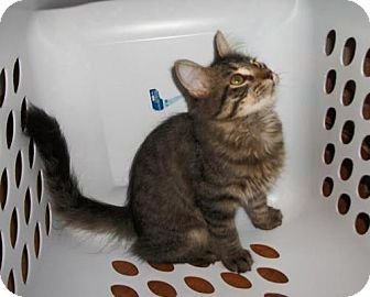Domestic Mediumhair Kitten for adoption in Lacon, Illinois - Asia