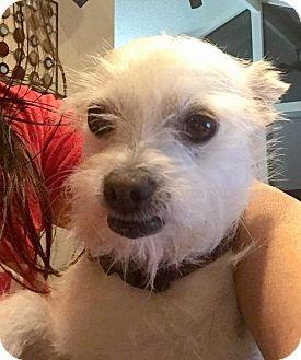 Shih Tzu/Terrier (Unknown Type, Small) Mix Dog for adoption in Renton, Washington - Rufus