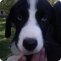 Adopt A Pet :: Star - Kendall, NY