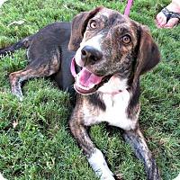 Adopt A Pet :: Shasta - McKinney, TX