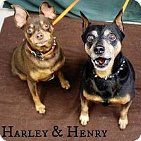 Adopt A Pet :: Harley Dee - Newport, KY