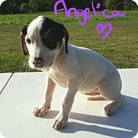 Beagle Mix Puppy for adoption in Burlington, Vermont - Angelica