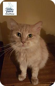 Domestic Longhair Cat for adoption in Hamilton, Ontario - Mia