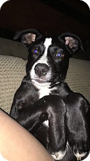 Fox Terrier (Smooth)/Cavalier King Charles Spaniel Mix Puppy for adoption in PARSIPPANY, New Jersey - STELLA