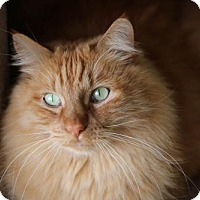 Domestic Longhair Cat for adoption in Boise, Idaho - Maurice