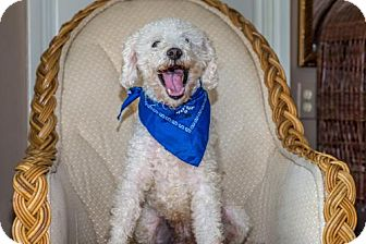 Poodle (Miniature) Dog for adoption in Seattle, Washington - Bo Dash Reber