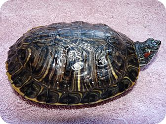 Turtle - Water for adoption in Richmond, British Columbia - Kate