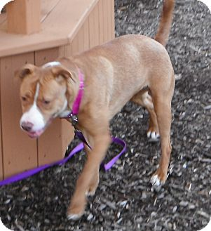 American Pit Bull Terrier Mix Dog for adoption in Jackson, Michigan - Tessa