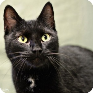 Domestic Shorthair Cat for adoption in Athens, Georgia - Venita