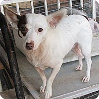 Chihuahua/Terrier (Unknown Type, Small) Mix Dog for adoption in San Ysidro, California - Tenille