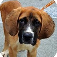 Adopt A Pet :: Duke-Courtesy Posting - New Canaan, CT