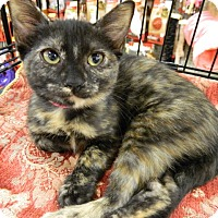 Adopt A Pet :: Tortie O'Keefe - The Colony, TX