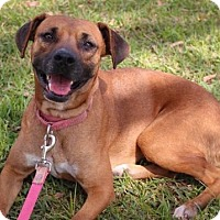 Boxer Mix Dog for adoption in Houston, Texas - Lizzy