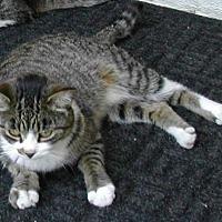 Domestic Shorthair Cat for adoption in Bonita Springs, Florida - Anna
