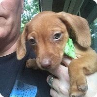 Adopt A Pet :: Olive - Pearland, TX