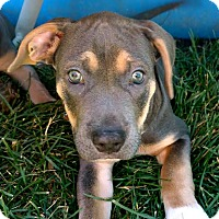 Adopt A Pet :: Porkchop-Adopted! - Detroit, MI