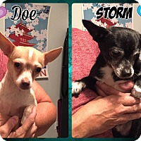 Chihuahua Dog for adoption in Albany, New York - Storm & Doe - hoarder survivor
