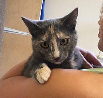 Domestic Shorthair Kitten for adoption in Baton Rouge, Louisiana - Scarlett