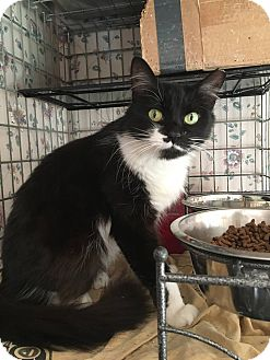 Domestic Shorthair Cat for adoption in Sterling Heights, Michigan - Odyssey