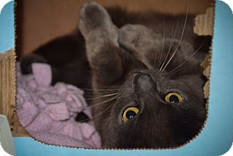 Domestic Shorthair Cat for adoption in Byron Center, Michigan - Bluebell
