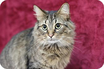 Domestic Longhair Cat for adoption in Midland, Michigan - Fredward - STRAY
