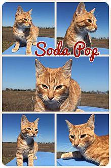 Domestic Shorthair Kitten for adoption in Ravenna, Texas - Soda Pop