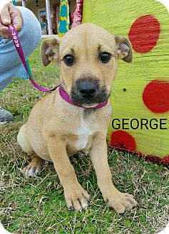 Black Mouth Cur Mix Puppy for adoption in Vancouver, British Columbia - George