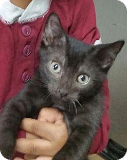 Domestic Shorthair Kitten for adoption in Virginia Beach, Virginia - Charm Bomb