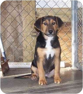 Beagle Mix Puppy for adoption in Little River, South Carolina - Sweetie Pie