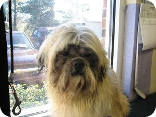 Shih Tzu Dog for adoption in Rock Hill, South Carolina - Ewok