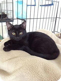 Domestic Shorthair Kitten for adoption in Speonk, New York - Meredith