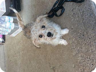 Yorkie, Yorkshire Terrier/Shih Tzu Mix Puppy for adoption in Northumberland, Ontario - lisa