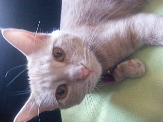 Domestic Shorthair Cat for adoption in Thorp, Wisconsin - Bella