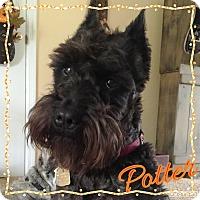 Adopt A Pet :: Potter~~Adoption Pending - Sharonville, OH