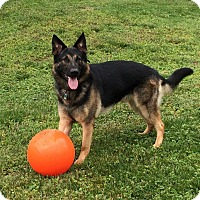 German Shepherd Dog Dog for adoption in Knoxville, Tennessee - Cub