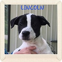 Adopt A Pet :: Lincoln POM-DC - Hagerstown, MD