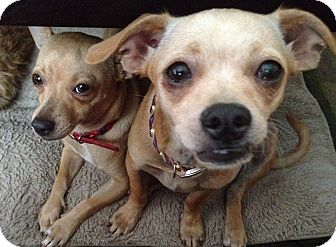 Chihuahua Mix Dog for adoption in Las Vegas, Nevada - Lily bonded with Tulip