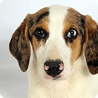 Adopt A Pet :: Anna Beagle Aussie - St. Louis, MO