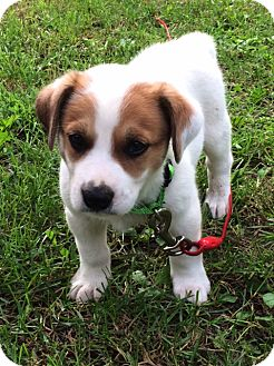 Australian Cattle Dog Mix Puppy for adoption in Minneapolis, Minnesota - Frankie