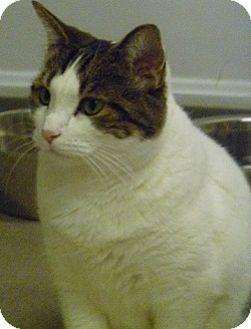 Domestic Shorthair Cat for adoption in Hamburg, New York - Mookie