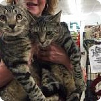 Domestic Shorthair Kitten for adoption in Bear, Delaware - Wills and Kate