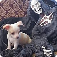 Adopt A Pet :: THE JOKER - Houston, TX