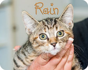 Domestic Shorthair Kitten for adoption in Somerset, Pennsylvania - Rain
