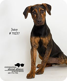Hound (Unknown Type) Mix Dog for adoption in Baton Rouge, Louisiana - Juicy