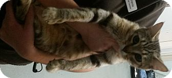 Domestic Shorthair Cat for adoption in Westminster, California - Abbey