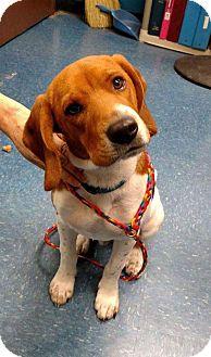 Beagle Dog for adoption in Washington, D.C. - Timmy (Has Application)