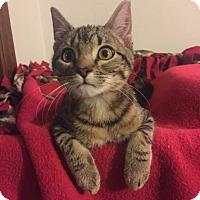 Adopt A Pet :: Simon - Overland Park, KS