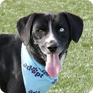 Beagle/Labrador Retriever Mix Dog for adoption in Columbia, Illinois - Bentley
